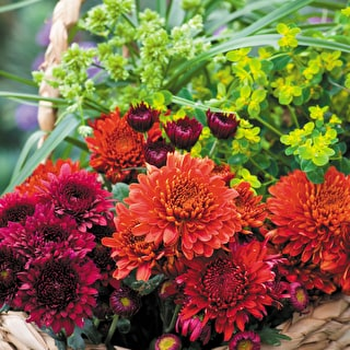 Best Chrysanths Collection