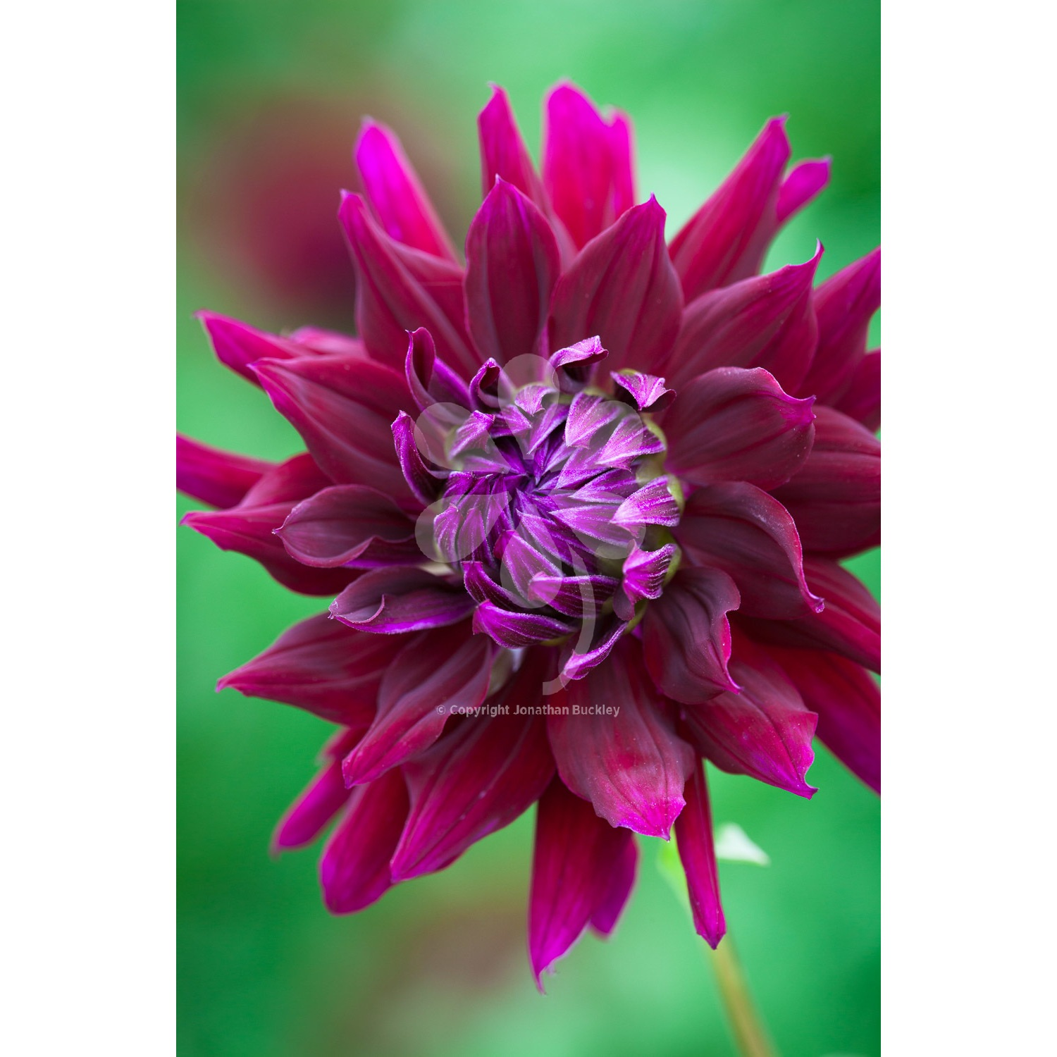 The Floriferous Dahlia Ripples From 450 Sarah Raven