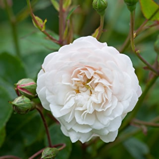 Rose 'Little White Pet'