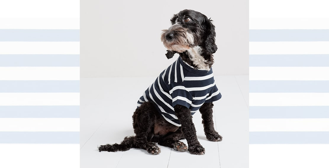 Pepe the black cockapoo in his sailor shirt